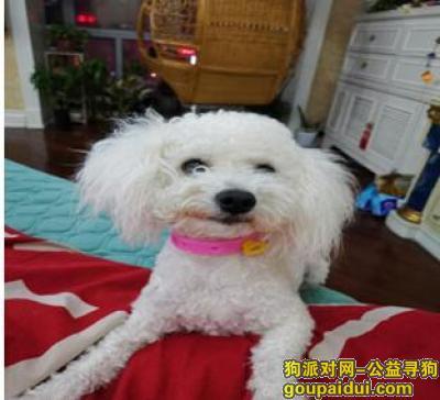沈阳找狗,辽宁省沈阳市沈河区东滨河路万柳塘早市丢失一只白色比熊公狗,脖子上带一粉色项圈。,它是一只非常可爱的宠物狗狗,希望它早日回家,不要变成流浪狗。