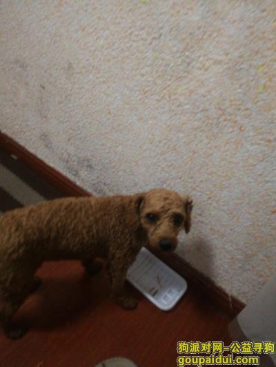 常州寻狗网,在常州南山林海大道捡的  棕色短毛泰迪罗宾狗公的尾巴尖有一朵毛,它是一只非常可爱的宠物狗狗,希望它早日回家,不要变成流浪狗。