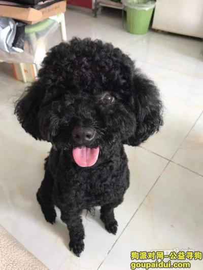邯郸寻狗启示,寻狗-黑色泰迪【已找到】,它是一只非常可爱的宠物狗狗,希望它早日回家,不要变成流浪狗。