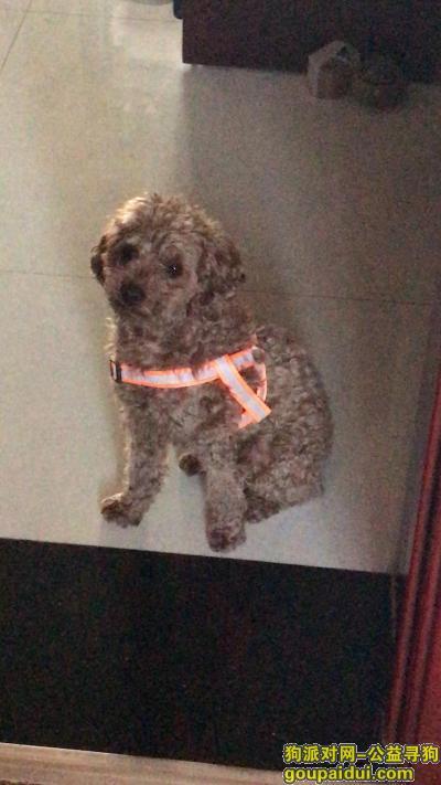 【廊坊找狗】,廊坊师范学院附近找一只泰迪,它是一只非常可爱的宠物狗狗,希望它早日回家,不要变成流浪狗。