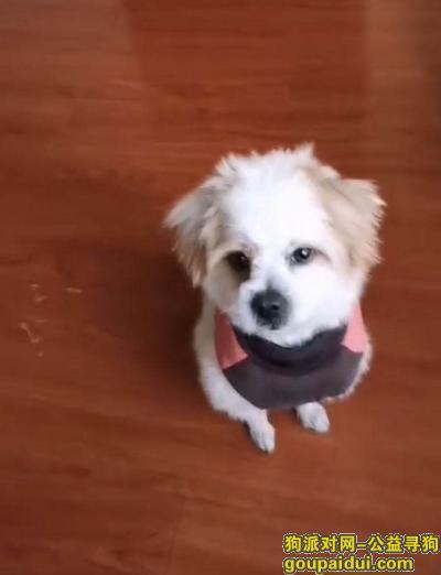 【拉萨找狗】,重金寻爱宠 拉萨城关区走丢,它是一只非常可爱的宠物狗狗,希望它早日回家,不要变成流浪狗。