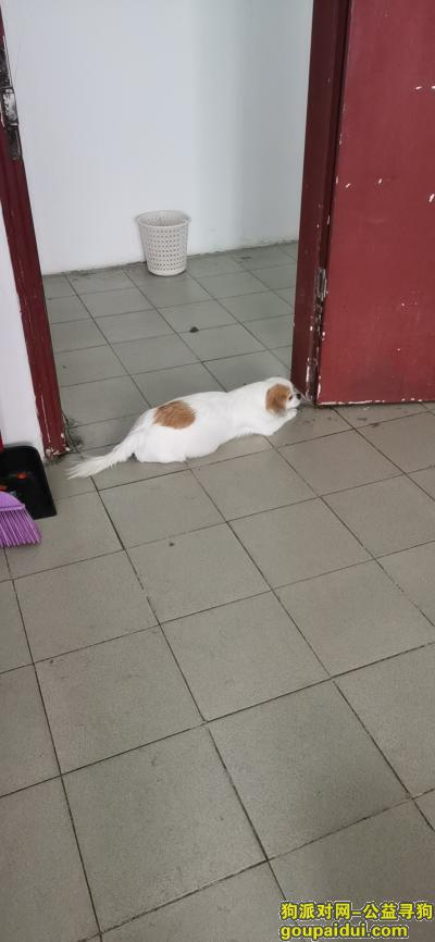 【深圳找狗】,蝴蝶犬,母狗,在观澜新塘路走丢,它是一只非常可爱的宠物狗狗,希望它早日回家,不要变成流浪狗。