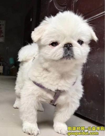 菏泽寻狗启示,寻找爱犬芒芒,如能捡到,必有重谢,它是一只非常可爱的宠物狗狗,希望它早日回家,不要变成流浪狗。