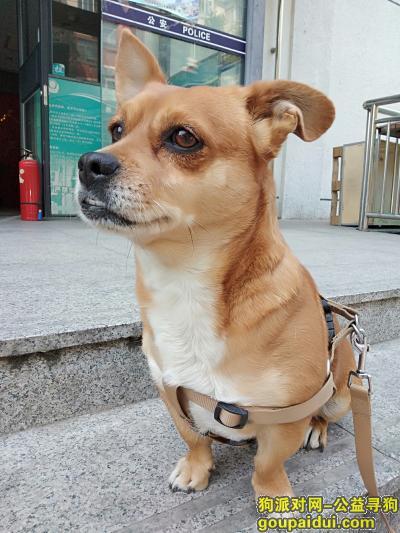 北京寻狗,3000元寻亮亮(串/公),它是一只非常可爱的宠物狗狗,希望它早日回家,不要变成流浪狗。