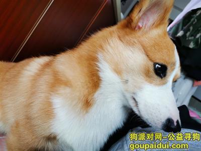 【南宁找狗】,柯基犬 炮炮 1岁 公,已断尾。南宁市西乡塘区明秀西路第八人民医院附近走失,它是一只非常可爱的宠物狗狗,希望它早日回家,不要变成流浪狗。
