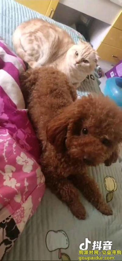 【沈阳找狗】,急寻爱犬球球,一只可爱的泰迪狗狗,它是一只非常可爱的宠物狗狗,希望它早日回家,不要变成流浪狗。