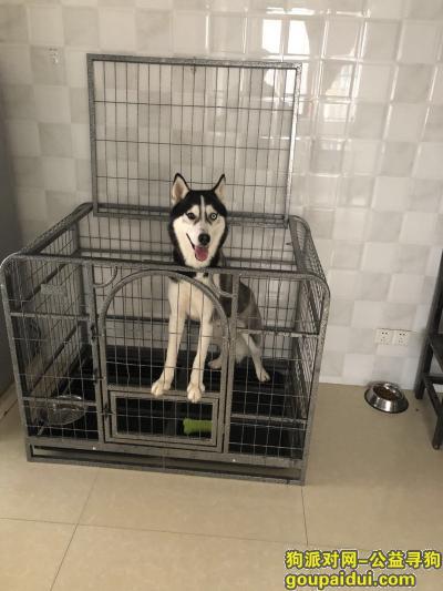 【南昌找狗】,哈士奇 三岁 好心人找到 1000奖励,它是一只非常可爱的宠物狗狗,希望它早日回家,不要变成流浪狗。