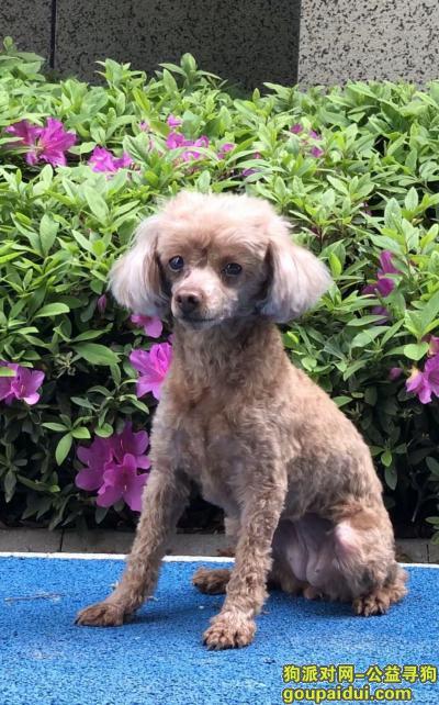 长沙市雨花区万科魅力之城寻找9岁泰迪,它是一只非常可爱的宠物狗狗,希望它早日回家,不要变成流浪狗。