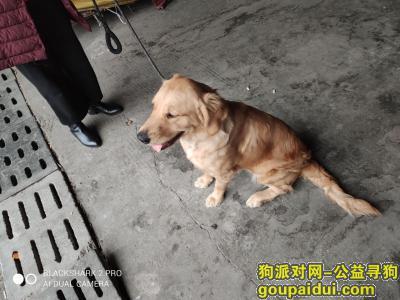 【东莞找狗】,黄色的金毛,60多斤,它是一只非常可爱的宠物狗狗,希望它早日回家,不要变成流浪狗。