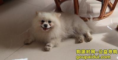 曲靖寻狗启示,纯白色博美,雄性,名字:可可,它是一只非常可爱的宠物狗狗,希望它早日回家,不要变成流浪狗。