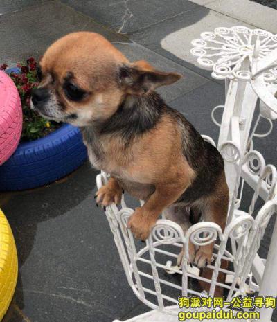 南昌找狗,寻找棕色吉娃娃 洪都大道高架下面走失,它是一只非常可爱的宠物狗狗,希望它早日回家,不要变成流浪狗。