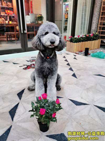 【济南找狗】,灰色大型长毛巨贵2020年6月18日晚10点左右丢失,它是一只非常可爱的宠物狗狗,希望它早日回家,不要变成流浪狗。
