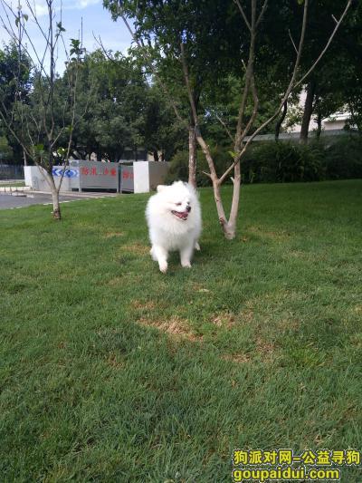 昆明寻狗启示,捡到只博美犬狗急寻狗主人,它是一只非常可爱的宠物狗狗,希望它早日回家,不要变成流浪狗。