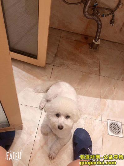 【沧州找狗】,早上五点在陈场丢失一条比熊犬 成年狗狗。白色的 很胖,找到18611118624重金酬谢。,它是一只非常可爱的宠物狗狗,希望它早日回家,不要变成流浪狗。