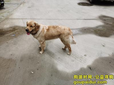 金毛,临沂路山东路交汇处,它是一只非常可爱的宠物狗狗,希望它早日回家,不要变成流浪狗。