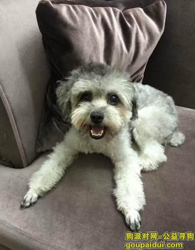 中山找狗,中山市 南头镇 升辉北市场(TCL德隆)附近丢失灰贵  有望见到的好心人联系冯生:15876567021,它是一只非常可爱的宠物狗狗,希望它早日回家,不要变成流浪狗。