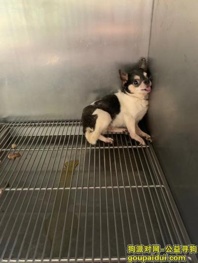 【沧州捡到狗】,寻找小狗主人如果主人看到这个小狗,主人赶紧去把你小狗接回家,它是一只非常可爱的宠物狗狗,希望它早日回家,不要变成流浪狗。