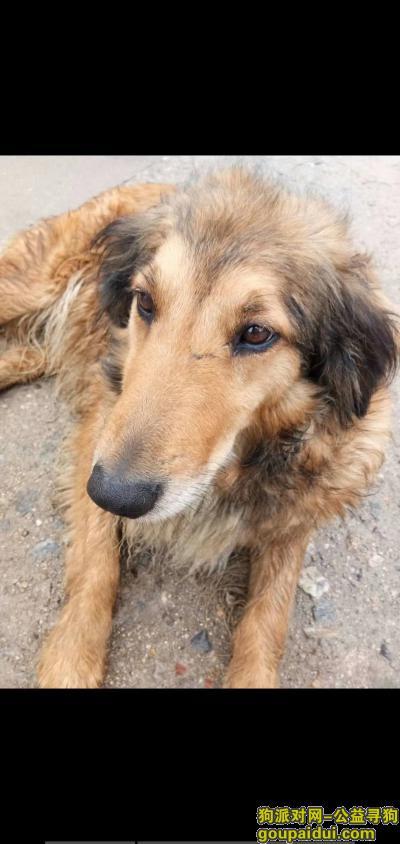 找狗网,寻找我的金毛与苏牧的混种犬,它是一只非常可爱的宠物狗狗,希望它早日回家,不要变成流浪狗。