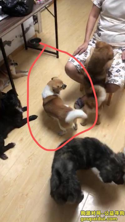 上海寻狗网,G15沪松公路出口这里丢失一只黄白狗狗7斤大小,它是一只非常可爱的宠物狗狗,希望它早日回家,不要变成流浪狗。