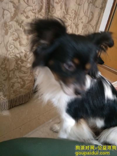 重庆找狗,如好心人捡到必定重金酬谢,它是一只非常可爱的宠物狗狗,希望它早日回家,不要变成流浪狗。