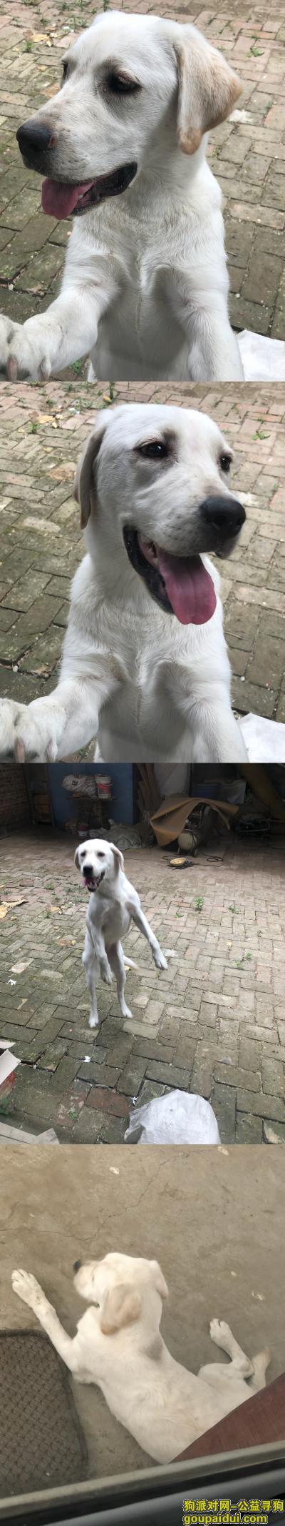 泰安寻狗,白色拉布拉多6个月尾巴尖偏黄,左鼻头偏白,它是一只非常可爱的宠物狗狗,希望它早日回家,不要变成流浪狗。