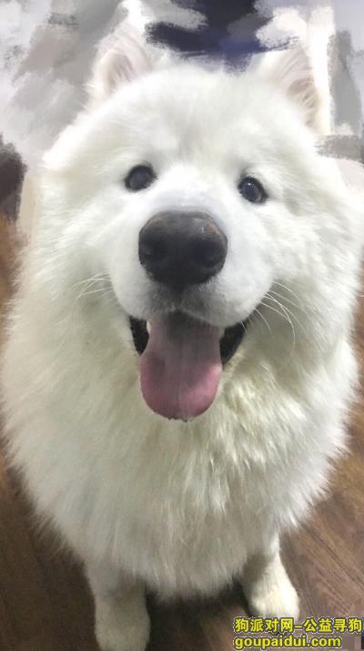 找狗网,萨摩6月26日凌晨在廊坊新世界家园附近丢失,它是一只非常可爱的宠物狗狗,希望它早日回家,不要变成流浪狗。