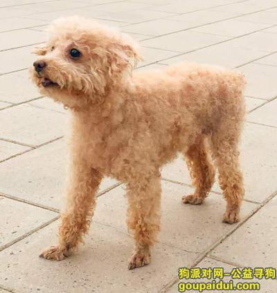 北京找狗,本人于2020年6月13日下午2时在北京市,石景山区,远洋山水12号楼附近走失一只小型泰迪犬.,它是一只非常可爱的宠物狗狗,希望它早日回家,不要变成流浪狗。