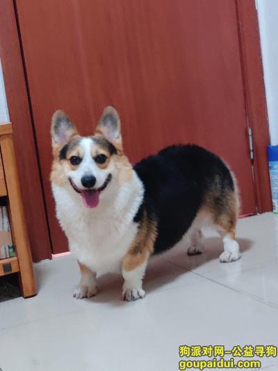广州寻狗网,已找到,请删帖。。。,它是一只非常可爱的宠物狗狗,希望它早日回家,不要变成流浪狗。