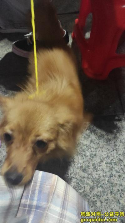 湛江捡到狗,在湛江赤坎东盟城捡到的一只应该是博美,它是一只非常可爱的宠物狗狗,希望它早日回家,不要变成流浪狗。