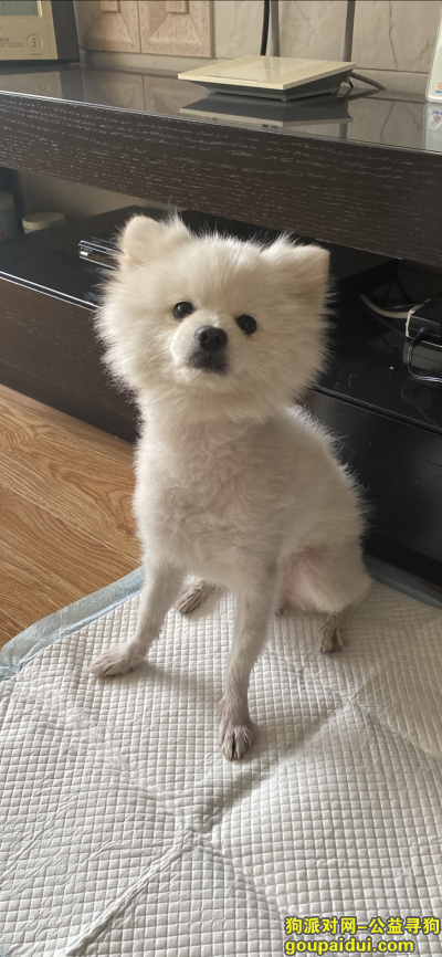 【兰州捡到狗】,七里河公交集团附近捡到白色博美公狗,它是一只非常可爱的宠物狗狗,希望它早日回家,不要变成流浪狗。