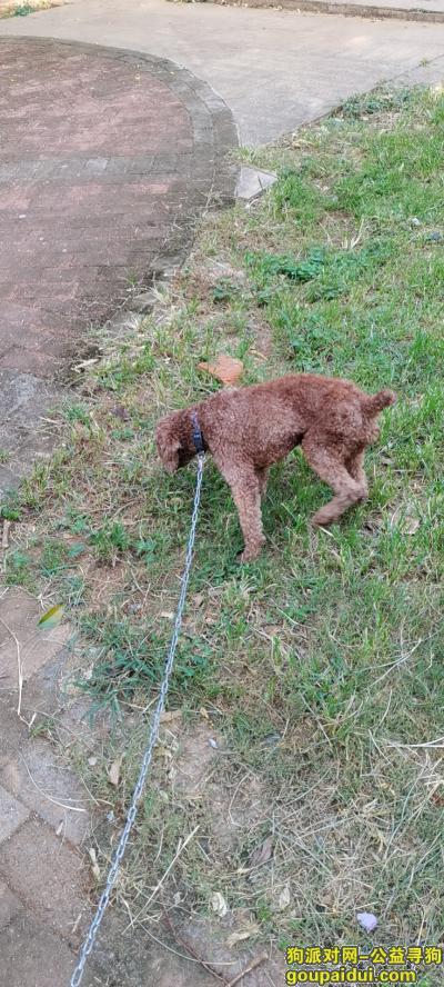 河源寻狗网,成年泰迪于金沟湾走失,它是一只非常可爱的宠物狗狗,希望它早日回家,不要变成流浪狗。