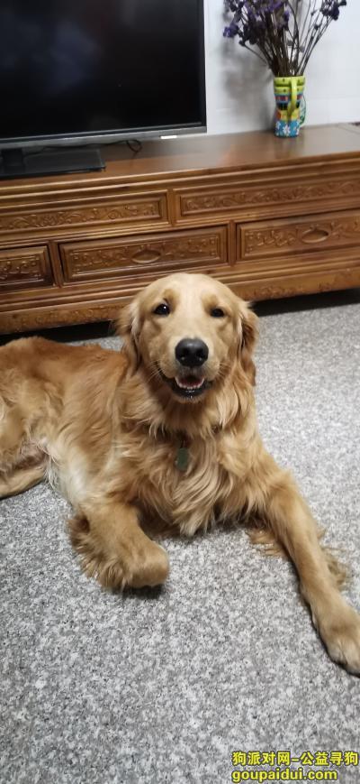 东莞找狗,凤岗五联村寻金毛犬!,它是一只非常可爱的宠物狗狗,希望它早日回家,不要变成流浪狗。