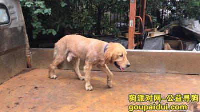 【温州捡到狗】,龙湾区永中海滨街道宁村大金毛,它是一只非常可爱的宠物狗狗,希望它早日回家,不要变成流浪狗。