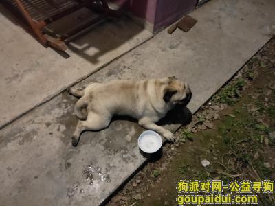 巢湖找狗主人,7月10日晚散步时捡到,它是一只非常可爱的宠物狗狗,希望它早日回家,不要变成流浪狗。