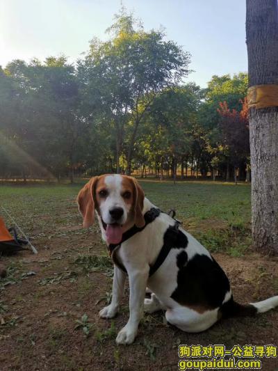 【石家庄找狗】,寻找太平河南岸风景区丢失爱犬棕色大耳朵比格,它是一只非常可爱的宠物狗狗,希望它早日回家,不要变成流浪狗。