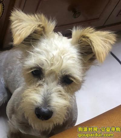 洛阳寻狗,寻找灰白色西高地小狗,它是一只非常可爱的宠物狗狗,希望它早日回家,不要变成流浪狗。