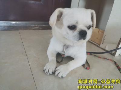 临沂找狗,寻中小型白色狗狗球球,它是一只非常可爱的宠物狗狗,希望它早日回家,不要变成流浪狗。