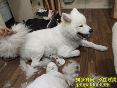 【南京找狗】,萨摩耶犬 女生 三岁 7.11下午丢失,它是一只非常可爱的宠物狗狗,希望它早日回家,不要变成流浪狗。