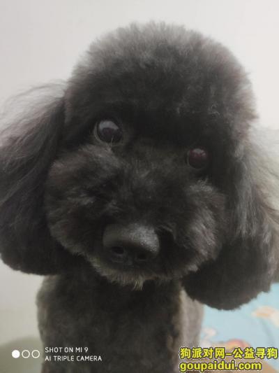 【哈尔滨找狗】,哈尔滨找狗:寻找黑色公泰迪一只 道外红旗大街与淮河路交口走失,它是一只非常可爱的宠物狗狗,希望它早日回家,不要变成流浪狗。