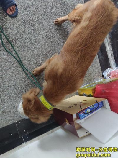 【巢湖捡到狗】,寻找这只大黄狗的主人,它是一只非常可爱的宠物狗狗,希望它早日回家,不要变成流浪狗。