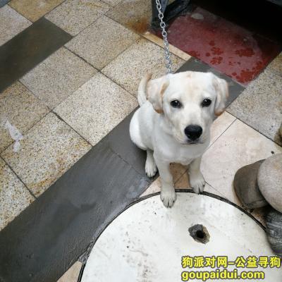 成都找狗,新津找一只白色拉布拉多,它是一只非常可爱的宠物狗狗,希望它早日回家,不要变成流浪狗。