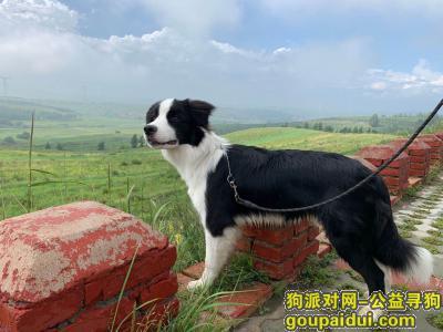 【北京找狗】,张家口市张北县草原天路重金寻找边牧,它是一只非常可爱的宠物狗狗,希望它早日回家,不要变成流浪狗。