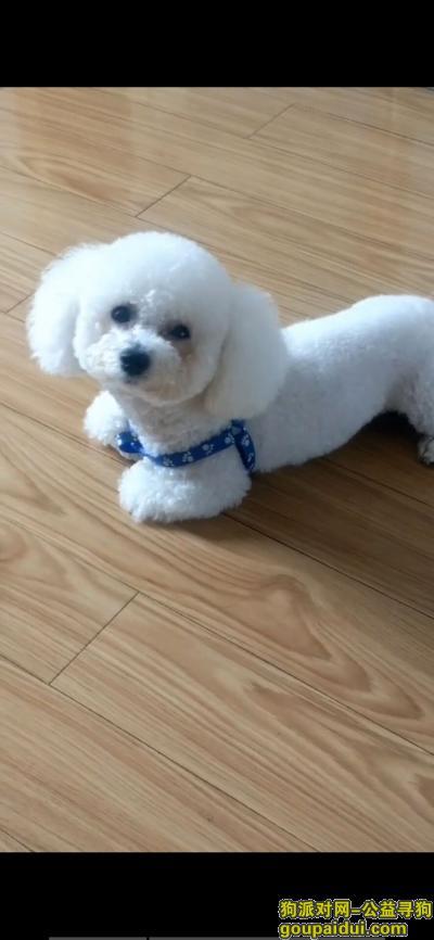 镇江寻狗,镇江京口区找狗:白色比熊,耳朵挺大,它是一只非常可爱的宠物狗狗,希望它早日回家,不要变成流浪狗。