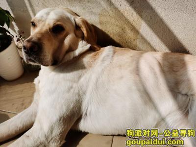 无锡寻狗网,悬赏6000元,寻找拉布拉多,它是一只非常可爱的宠物狗狗,希望它早日回家,不要变成流浪狗。