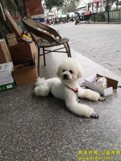 无锡寻狗启示,无锡广益佳苑附近丢了比熊犬,它是一只非常可爱的宠物狗狗,希望它早日回家,不要变成流浪狗。