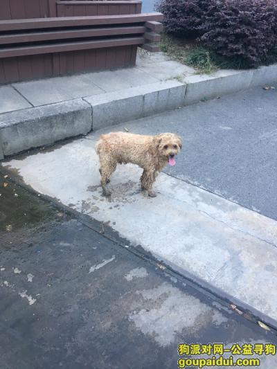 湖州寻狗启示,吴兴区三环西路附近 疑似走失的泰迪犬,它是一只非常可爱的宠物狗狗,希望它早日回家,不要变成流浪狗。