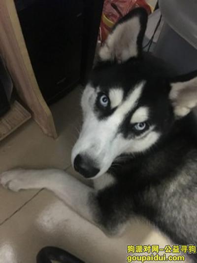 广州寻狗启示,爱犬走失,心急如焚,摆脱好心人帮忙留意下,它是一只非常可爱的宠物狗狗,希望它早日回家,不要变成流浪狗。