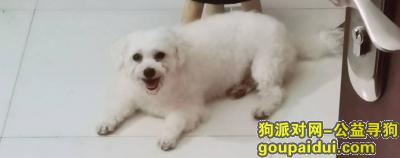 郑州找狗,重金寻狗---比熊犬,它是一只非常可爱的宠物狗狗,希望它早日回家,不要变成流浪狗。