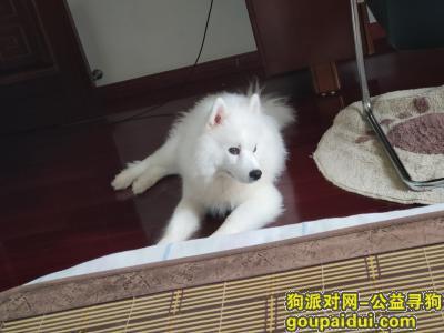 【合肥找狗】,酬金1000寻狗 萨摩耶 滨湖顺园附近丢失,它是一只非常可爱的宠物狗狗,希望它早日回家,不要变成流浪狗。