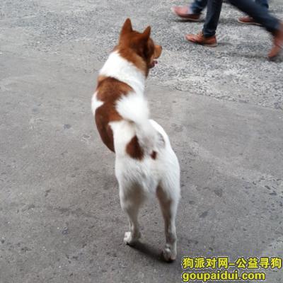 佛山寻狗,佛山市禅城区寻狗启示,它是一只非常可爱的宠物狗狗,希望它早日回家,不要变成流浪狗。